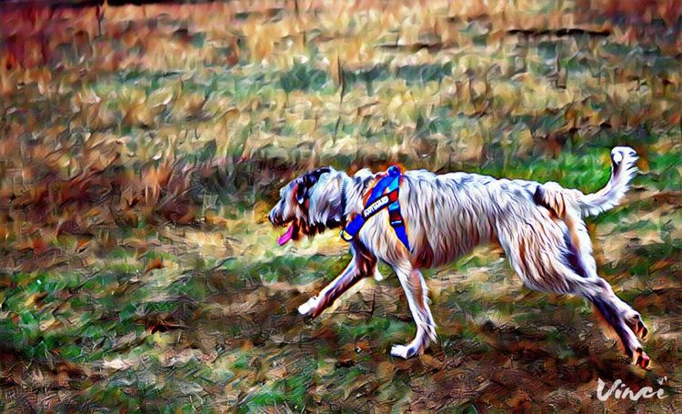 Vinci App Animal Themes Full Length Outdoors Grass Dogslife Dogs Of EyeEm Dog Of The Day Dogs Of Winter Dogwalk Winter 2017 February 2017 Showcase February 2017 Domestic Animals Dog Pets Take A Walk Irish Wolfhound Cearnaigh