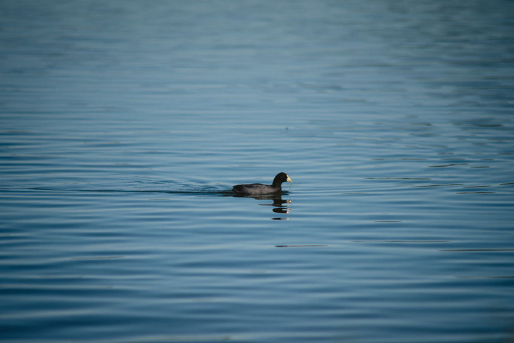One Animal Animal Animal Themes Animal Wildlife Animals In The Wild Water Waterfront Vertebrate Bird Swimming Lake No People Day Nature Rippled Beauty In Nature Outdoors Motion Duck