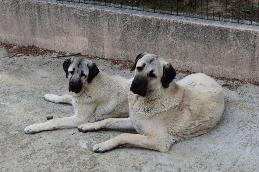 Chien Dog Kangal