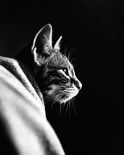 Close-up of tabby cat against black background