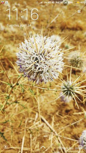 flower in summer Summer Exploratorium Flower Head Flower Thistle Uncultivated Wildflower Field Dandelion Close-up Plant
