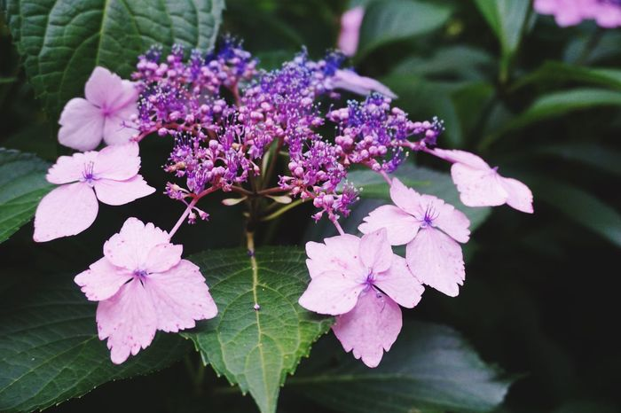 Lacecap hydrangea, violet to blue Flower Beauty In Nature Freshness Nature Petal Leaf Day Outdoors Plant Live For The Story The Great Outdoors - 2017 EyeEm Awards EyeEmNewHere