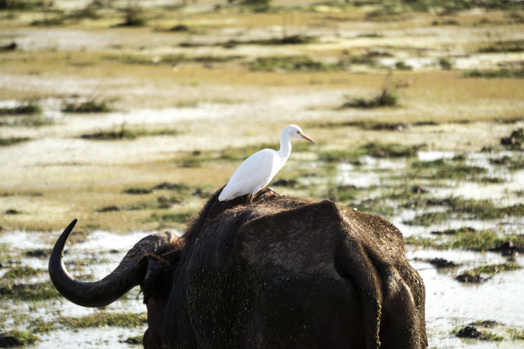 Bird perching on bull