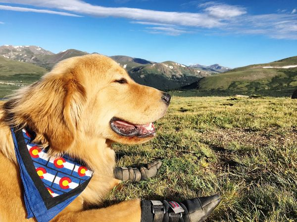 Yoshi summited his first 14er at 9 months old. Puppy Goldenretriever Colorado Mountain Fourteeners