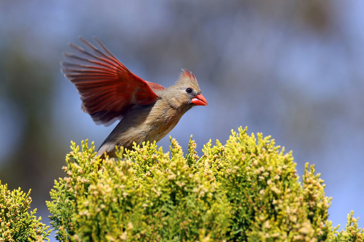 Cardinal flying by plant