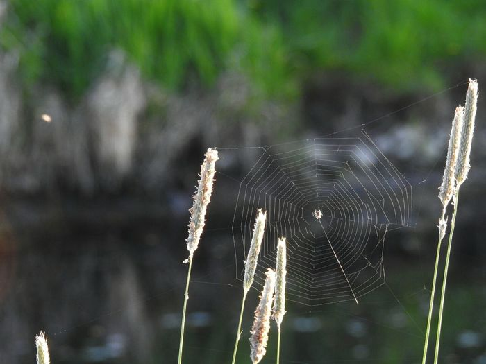 Spider Web Focus On Foreground Nature Outdoors Close-up No People Fragility Day Trapped Spider Lake Growth Water Beauty In Nature Web Freshness Doğa Nature_collection Beautiful GERMANY🇩🇪DEUTSCHERLAND@ One Animal Germany Love To Take Photos ❤ Water Growth Beauty In Nature Web Freshne Animal Themes