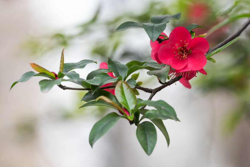 Malus spectabilis in spring Growth Malus Spectabilis Nature Tree Flower Red Flower Spring Spring Flowers Spring Is Coming  Springtime