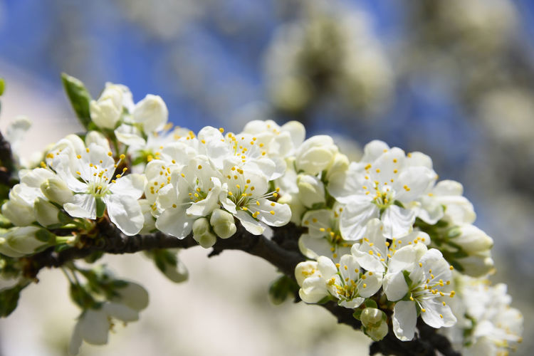 Close up branch of white plum or cherry blossom over blue sky Flower Flowering Plant Plant Beauty In Nature Vulnerability  Fragility Growth Freshness Close-up White Color Nature Selective Focus Day Petal No People Inflorescence Flower Head Focus On Foreground Springtime Outdoors Pollen Cherry Blossom Plum Blossom Plum Flower In Bloom Blooming Copy Space