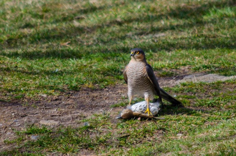 Eurasian sparrowhawk Eurasian Sparrowhawk Sparrowhawk Sparrowhawk Male Sparrowhawk With Kill Animal Themes Animal Wildlife Animals In The Wild Bird Day Full Length Grass Mammal Nature No People One Animal Outdoors
