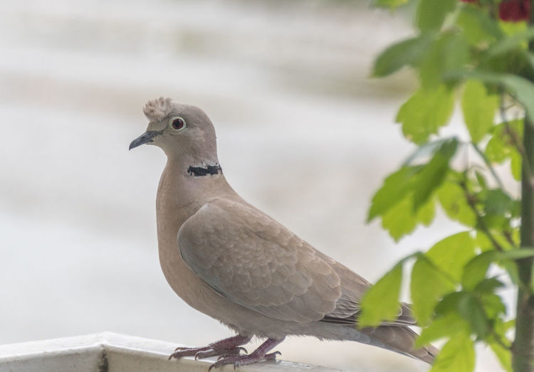 A pretty species of turtledove with a crest Une jolie espèce de tourterelle avec une huppe Bird Animal Themes Vertebrate Animal One Animal Animal Wildlife Perching Animals In The Wild Plant Part Leaf No People Day Nature Focus On Foreground Close-up Mourning Dove Plant Outdoors Dove - Bird Branch Crest Crested Pigeon Turtledove Tourterelle Crete Huppe Huppée Huppée Tourterelle Huppee Oiseaux Urbains Oiseau Oiseaux Pigeon Bird  Pigeon Photo Oiseau Animals Nature Photography Nature Photography Birds Photographie Oiseau Dove Doves, Birds Oiseau Granivore Naturalisme Naturaliste Volatile Ornithology  Ornithologie Zoology Zoological