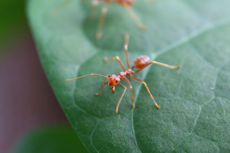 Ant Red on leaf