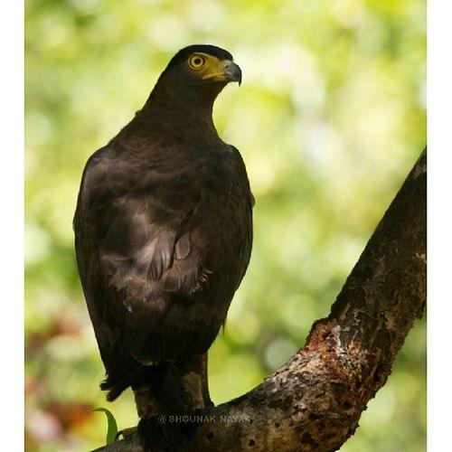 A Crested Serpent Eagle. ShounakNayakPhotography Wildlife Bandhavgarh Bird