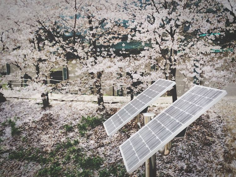 The Places I've Been Today Check This Out Cherry Blossoms Springtime Spring Flowers Learn & Shoot: Balancing Elements Taking Photos IPhoneography Beauty Of Nature Solar Energy Hugging A Tree Urban Geometry Great Atmosphere Yes! It's Spring!