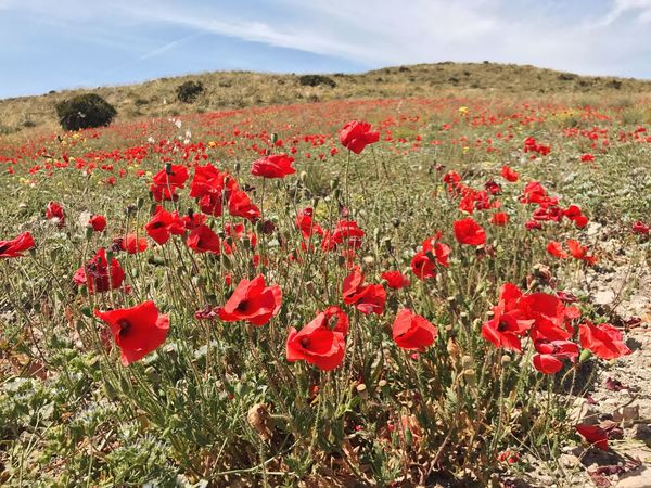 Red Flower Poppy Nature Field Growth Beauty In Nature Tranquility Plant Day Sky No People Landscape Outdoors Fragility Tranquil Scene Petal Freshness Mountain Scenics Almería Beautiful Nature EyeEm Nature Lover EyeEm Best Shots Nature Photography