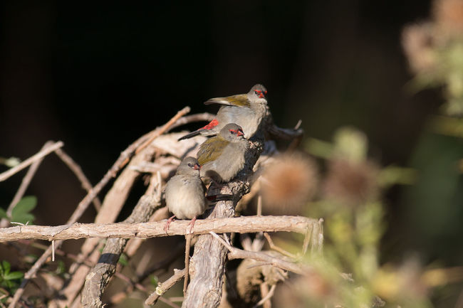 Red Browed Finches Australian Birds In The Wild Red Browed Finches Animal Themes Animal Wildlife Animals In The Wild Bird Close-up Day Focus On Foreground Nature No People One Animal Outdoors Perching Sparrow