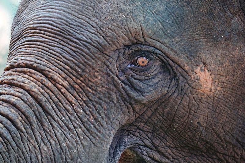 Elephant's Eye Elephant Animal Themes Animal Animals In The Wild No People Animal Body Part Animal Wildlife One Animal Mammal Close-up Eye Nature Wrinkled Backgrounds Textured  Animal Head  Animal Eye