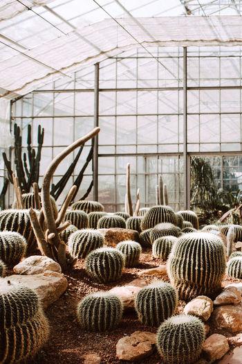 กระบองเพรช Day No People Plant Nature Growth Greenhouse Green House Indoors  Cactus Succulent Plant Animal Animal Themes Agriculture Beauty In Nature Group Of Animals Barrel Cactus Potted Plant Animal Wildlife Botany Plant Nursery Ceiling