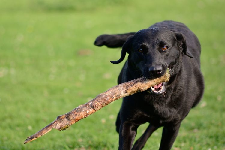 Close-Up Of Labrador Playing Fetch
