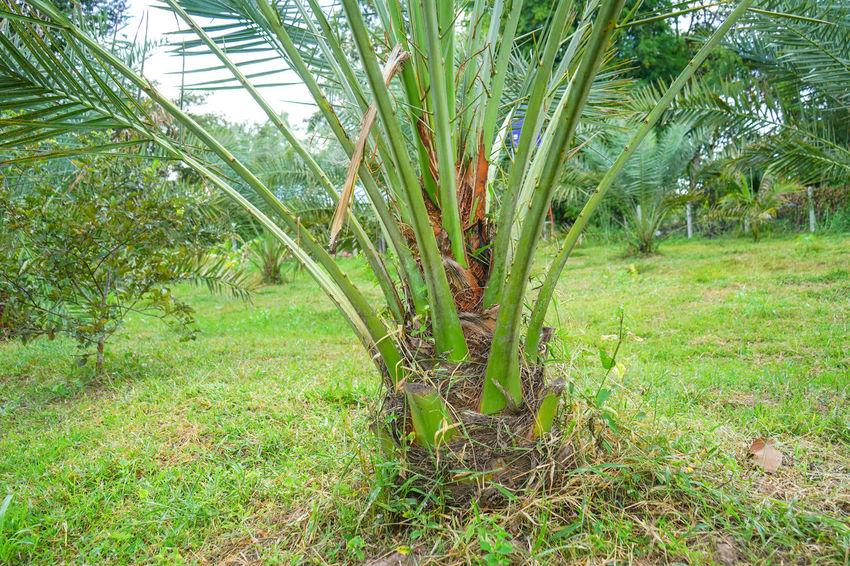 Barhi Dates Dates On Date Palm Barhi Date Palm Date Palm Garde Date Palm Tree Date Palms Land Outdoors