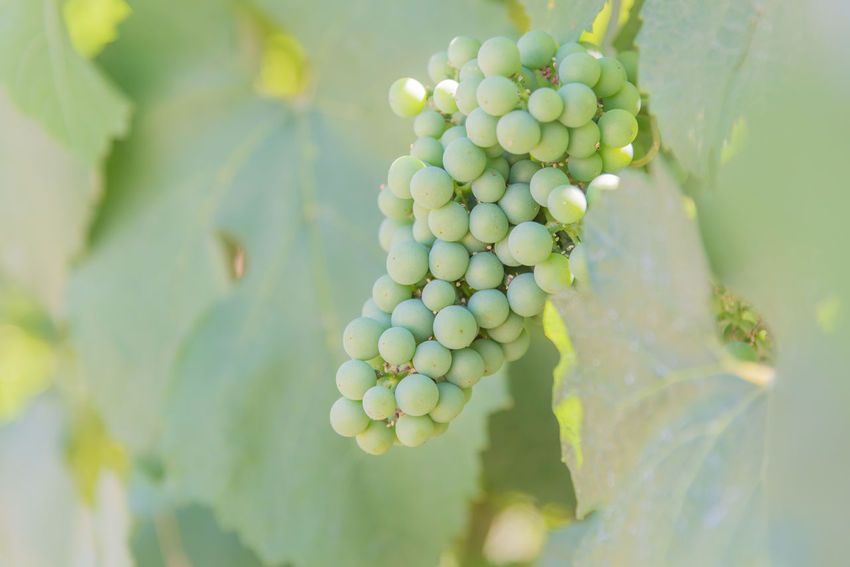 Green grapes ripening on vine in summer vineyard close-up Afternoon British Columbia, Canada Grapevine July Naramata Naramata Bench Okanagan Valley Agriculture Bunch Close-up Cluster Crop  Food And Drink Green Grapes Leaves Outdoors Plant Ripening South Okanagan Summer Sunshine Vineyard Viniculture Winemaking Winery