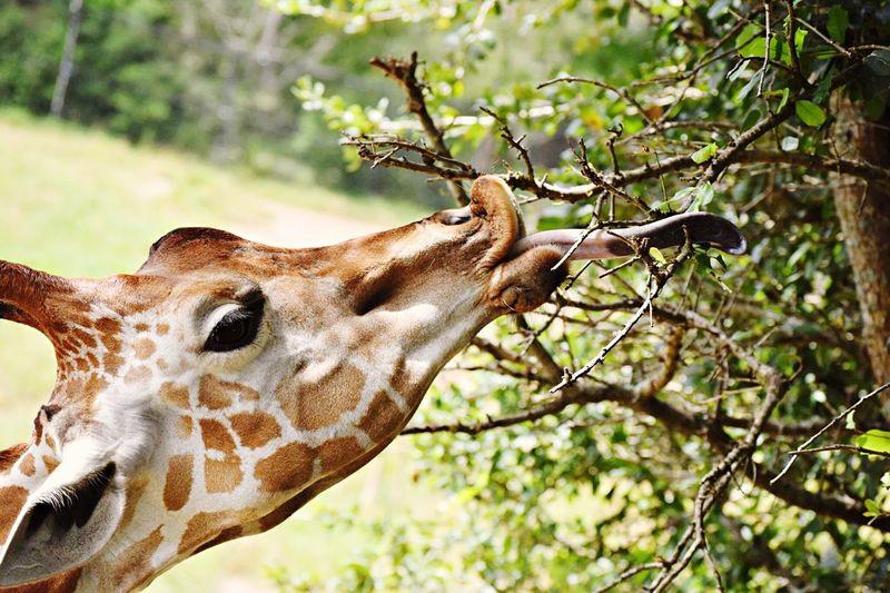 Giraffe Tongue Jacksonville Zoo Tree One Animal Animal Animal Wildlife Plant Nature Giraffe Mammal The Great Outdoors - 2018 EyeEm Awards