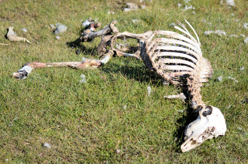 View of a dead sheep on field