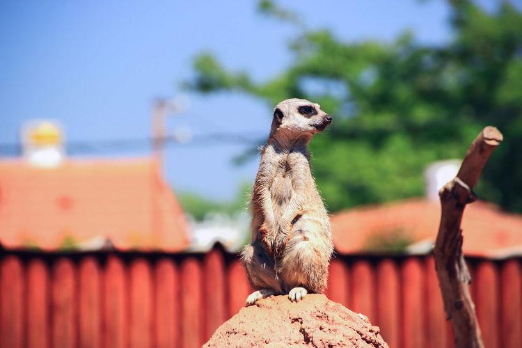 Meerkat on rock