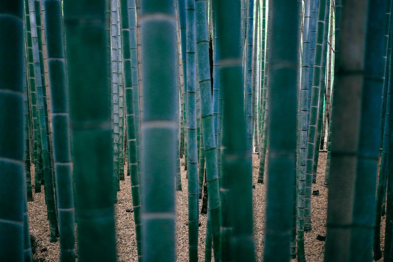 Full frame shot of bamboo grove