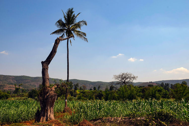 Coconut palm trees on field against sky
