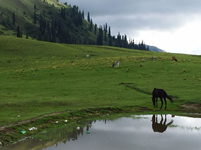 Grass Livestock Scenics Reflection Grazing Domestic Cattle