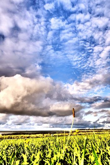 Field Agriculture Growth Crop  Rural Scene Plant Beauty In Nature Cloud - Sky Nature Flower Freshness Day Outdoors No People Landscape Sky Tranquil Scene Cereal Plant Blue Sunlight