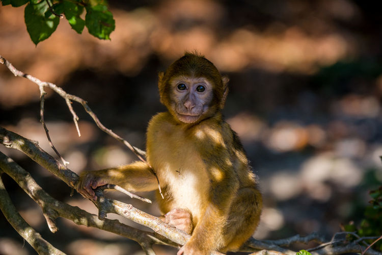 Portrait of barbary macaque sitting on tree
