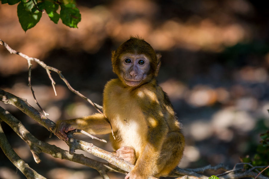 Barbary macaque Affe Animal Ape Baby Barbary Ape Barbary Macaques Barber Affe Barberaffe Deutschland EyeEn Nature Lover Eyes Watching You Germany Natur Nature Portrait Tier Wildlife Wildlife Photography