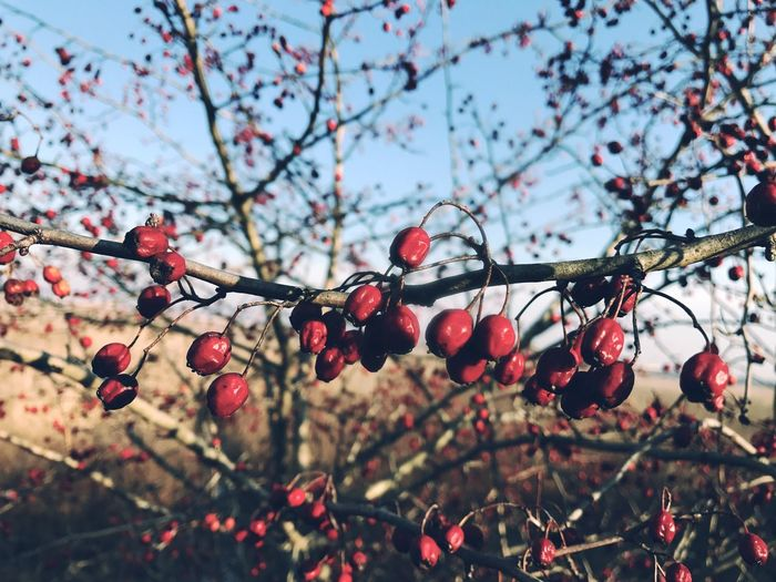 Growth Tree Fruit Nature Freshness Outdoors Close-up Branch Food And Drink Twig Low Angle View Focus On Foreground Day Beauty In Nature No People Rowanberry Plant Sky