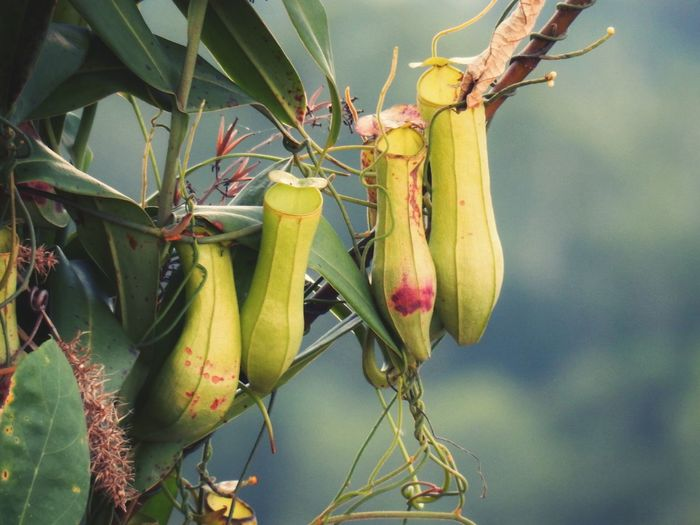 Pitcher plants in forest