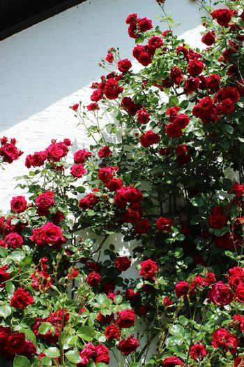 High angle view of red roses on plant