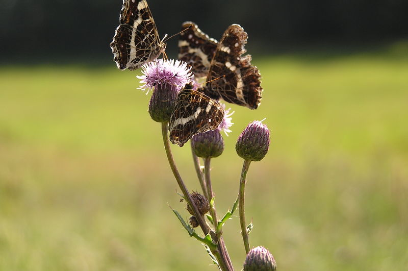 Thistle Butterfly Carduus