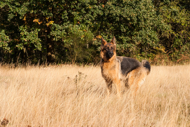 Animal Animal Themes Day Dog Domestic Animals Focus On Foreground German Shepherd Grass Grass Mammal Mydog No People One Animal Outdoor Photography Outdoors Pets Shepherd Showcase: February