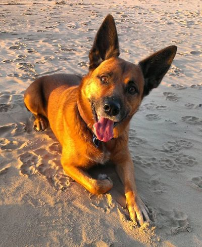 Dog waits patiently for his stick to be thrown. Dog Cattledog Redhealer K9 Beach Ocean Sea Sand Sunset Orange Beauty Beautiful Stare Staring Patience Paws Cute Pawprints