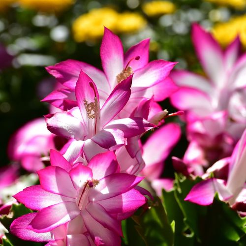 Flower Flowering Plant Plant Beauty In Nature Pink Color Freshness Petal Fragility Close-up Flower Head Inflorescence Nature Focus On Foreground Plant Part Pollen Christmas Cactus Flowers EyeEm Nature Lover