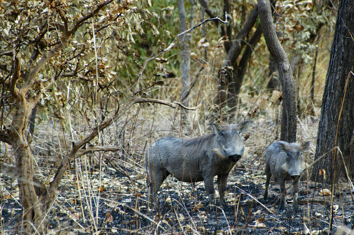 National Park Niokolo-Koba National Park UNESCO World Heritage Site World Heritage Site Animal Themes Animal Wildlife Animals In The Wild Beauty In Nature Nature Niokolo Niokolo Koba Niokolo Koba Senegal No People Outdoors Park Safari Safari Park Senegal Warthog