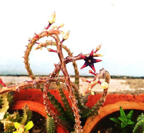 Starshape Flower Plant Flower Head Blooming