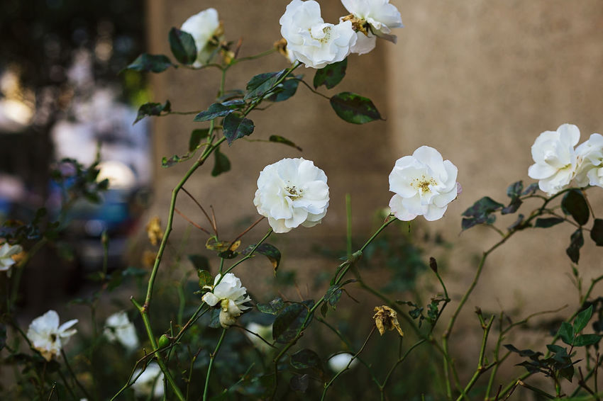 lovely garden on a corner, near my neighborhood Beauty In Nature Canonphotography Close-up Evening Floral Flower Flower Collection Flower Head Flowers Flowers,Plants & Garden Fragility Freshness G Garden, Golden Hour Growth Nature No People Outdoors Petal Plant Rose Garden Sunset White White Color