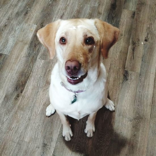 Whipped Cream Face Yellow Labrador Messy Face Smiling Dog EyeEm Selects Dog Pets Looking At Camera One Animal Domestic Animals Portrait Animal Themes Mammal Sitting No People Indoors