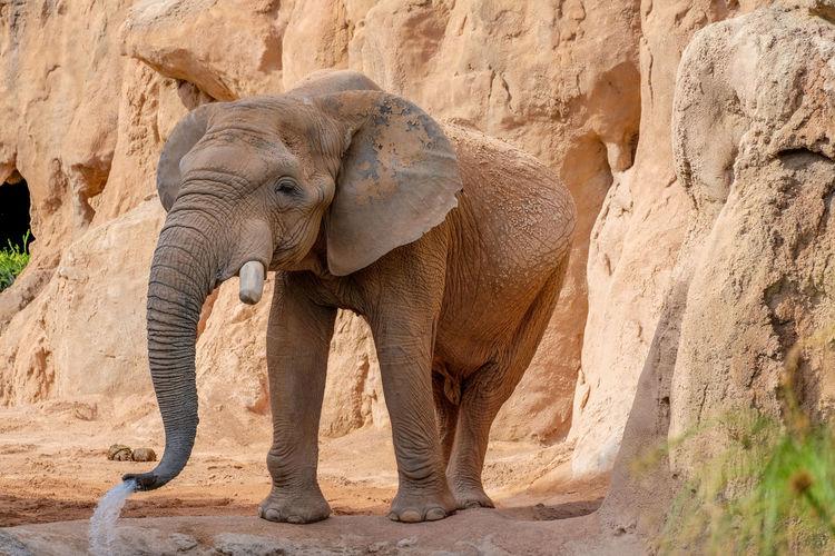 Elephant African Elephant Animal Animal Body Part Animal Themes Animal Trunk Animal Wildlife Animals In The Wild Beauty In Nature Day Elephant Elephant Calf Landscape Nature No People One Animal Outdoors Tusk