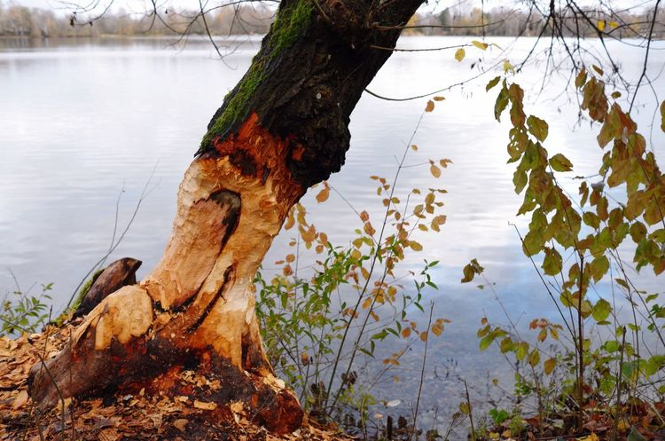 THAT IS WHERE THE BEAVER IS LIVING Tree Nature Water Tree Trunk No People Branch Tranquility Beauty In Nature Dead Tree Beaver Work Lake Lake View Autumn Colors