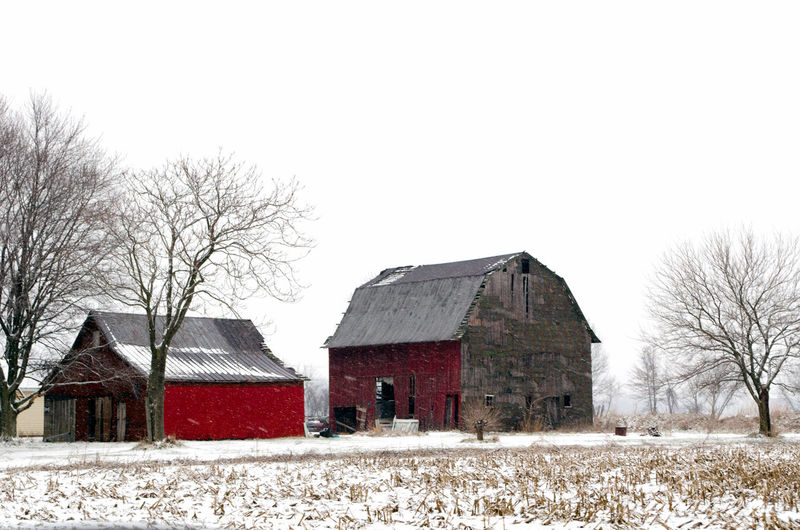 rustic old barns stand out against a snow coated field of corn in Michigan USA Architecture Bare Tree Barn Barns In Winter Beauty In Nature Building Exterior Built Structure Clear Sky Cold Temperature Day Field Landscape Nature Old Barns Outdoors Sky Snow Tranquility Tree Winter
