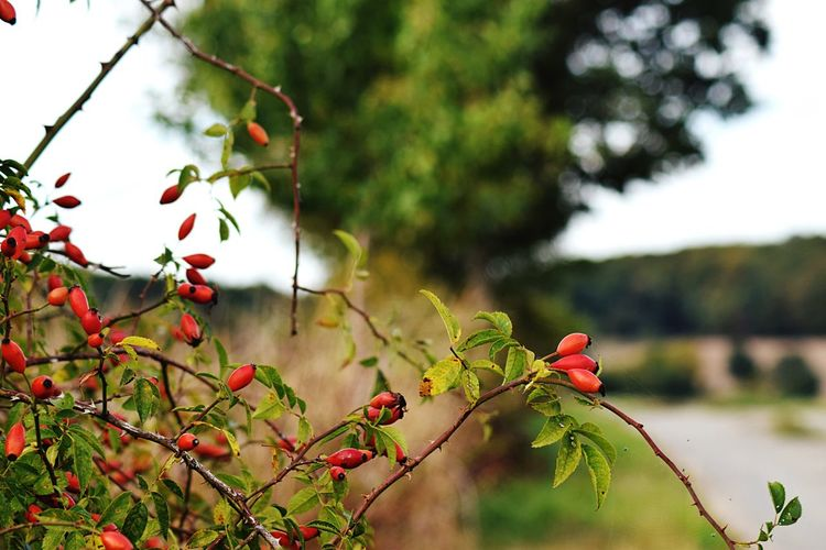 Rosehips Plant Tree Growth Fruit Nature Branch Focus On Foreground Beauty In Nature Day Healthy Eating Berry Fruit Red Plant Part Freshness Leaf Close-up Green Color No People EyeEmNewHere