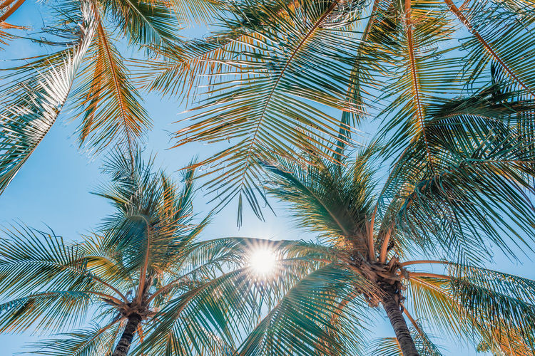 Palm Tree Tropical Climate Tree Plant Growth Sky Low Angle View Nature Beauty In Nature Leaf Sunlight No People Tranquility Day Palm Leaf Sun Green Color Outdoors Sunbeam Tranquil Scene Lens Flare Tropical Tree Coconut Palm Tree Directly Below