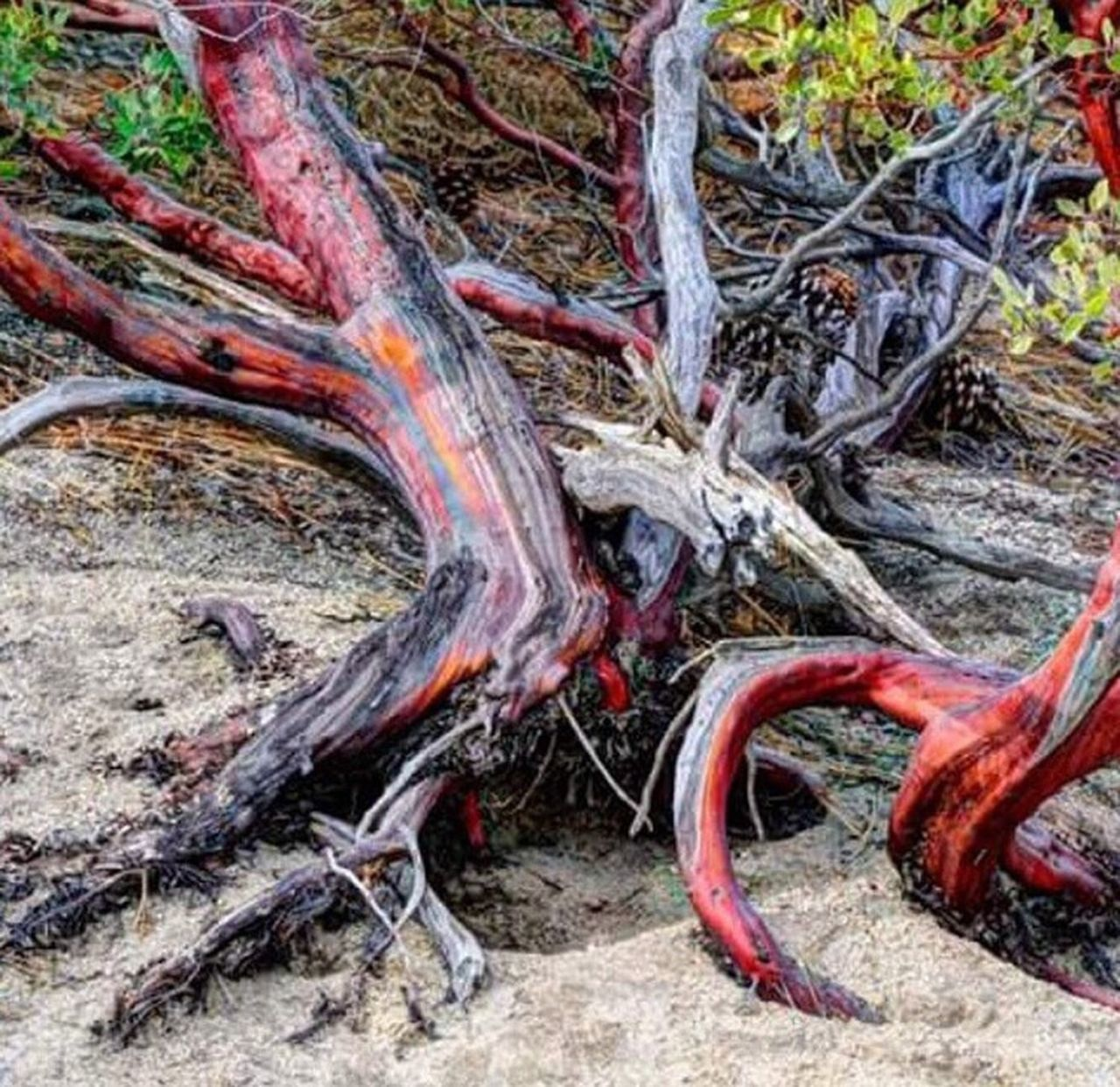 tree trunk, tree, nature, forest, woodland, day, no people, outdoors, root, branch, beauty in nature, close-up